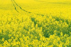 Yellow oilseed rape Royalty Free Stock Image