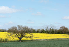 Yellow Oilseed rape field. Stock Photography