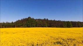 Yellow oilseed rape field. stock footage