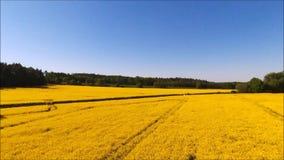 Yellow oilseed rape field. stock video