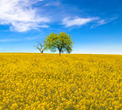 Yellow oilseed rape field with trees under the blue sky Stock Photo