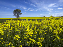 Yellow oilseed rape field Royalty Free Stock Images