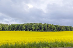 Yellow oilseed rape field under the blue sky with sun Royalty Free Stock Image