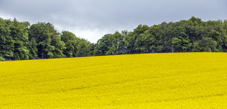 Yellow oilseed rape field under the blue sky with sun Royalty Free Stock Photo