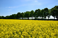 Yellow oilseed rape field under the blue sky with sun Stock Photo