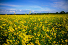Yellow oilseed rape field under the blue sky Royalty Free Stock Image