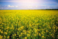 Yellow oilseed rape field under the blue sky Royalty Free Stock Images