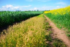 Yellow oilseed rape field under the blue sky Stock Images