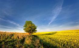 Yellow oilseed rape field under the blue sky with sun Royalty Free Stock Images