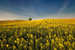 Yellow oilseed rape field under the blue sky with sun Stock Image