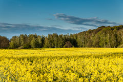 Yellow oilseed rape field Royalty Free Stock Photo
