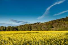 Yellow oilseed rape field Stock Photography