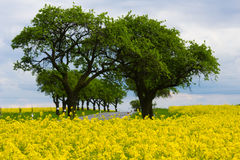Yellow oilseed rape field Royalty Free Stock Photos