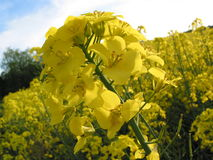 Yellow oilseed rape flower. Yellow oilseed rape (canola) flower in a field against sky Royalty Free Stock Photography