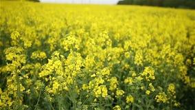 Yellow Oilseed Rape Flowers in the Field Slow Motion Camera stock footage