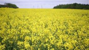 Yellow Oilseed Rape Flowers in the Field Slow Motion Camera stock video footage