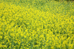 Yellow oilseed rape scenery Royalty Free Stock Photos