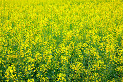 Yellow oilseed rape scenery Stock Photography