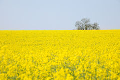 Yellow oilseed rape in Spring. The vibrant yellow of Oilseed Rape dominates the rural heartland of England during April. Adored by many for the springtime Stock Image
