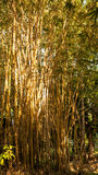 Yellow old bamboo forest Royalty Free Stock Photography