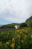 Yellow old rattle flowers in black beach. In azores, Portugal Royalty Free Stock Images