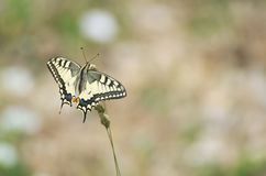 Papilio Machaon Butterfly Royalty Free Stock Photography