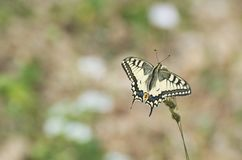 Papilio Machaon Butterfly Stock Photos