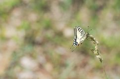 Papilio Machaon Butterfly Royalty Free Stock Photos