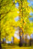 Yellow olden  autumn, birch tree orest background Stock Images