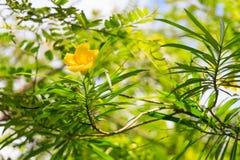 Yellow oleander flower Stock Photos