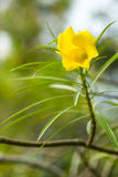Yellow oleander flower in chiangmai Thailand Royalty Free Stock Image