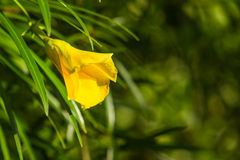 Yellow oleander flower in chiangmai Thailand Royalty Free Stock Photography