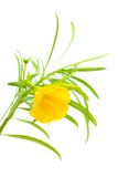 Yellow oleander Royalty Free Stock Photos