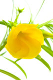 Yellow oleander Royalty Free Stock Images