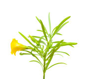 Yellow oleander Stock Photos