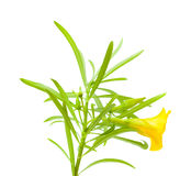 Yellow oleander Royalty Free Stock Photography