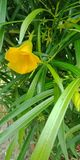 Yellow Oleander flower with leafs nature background wallpaper,. Many uses for paintings,printing,mobile backgrounds, book,covers,screen savers, web page Stock Images