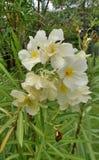 Yellow Oleander flower shrup background Stock Photo