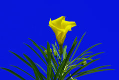 Yellow oleander flower (Thevetia peruviana). On blue sky background Stock Photo