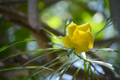 Yellow oleander Stock Images