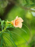 Yellow oleander, Lucky Nut Royalty Free Stock Images