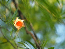 Yellow oleander, Lucky Nut Royalty Free Stock Photography