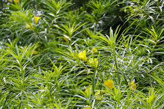 Yellow oleander Stock Photo