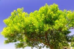 Yellow oleander tree on Rhodes Stock Photos