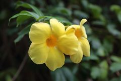 Yellow oleander Royalty Free Stock Photo