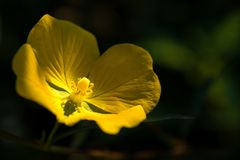 Yellow Onagra Oenothera Biennis, Colonia del Sacramento, Uruguay stock photo