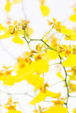 Yellow Oncidium Dancing Lady Orchids Stock Images