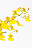 Yellow Oncidium dancing lady orchids and bud Royalty Free Stock Photography