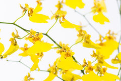 Yellow Oncidium Dancing lady orchids Royalty Free Stock Image