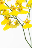 Yellow Oncidium Dancing Lady orchids Royalty Free Stock Photo